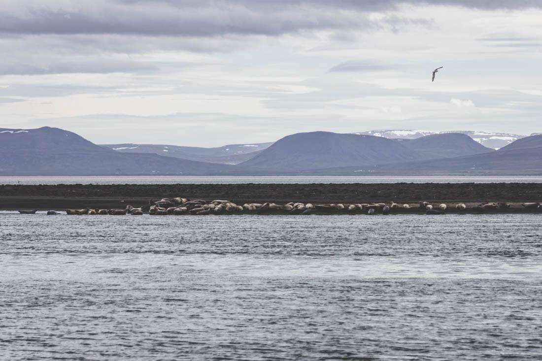 Iceland / Phoques / Islande / Seals / Hvitserkur