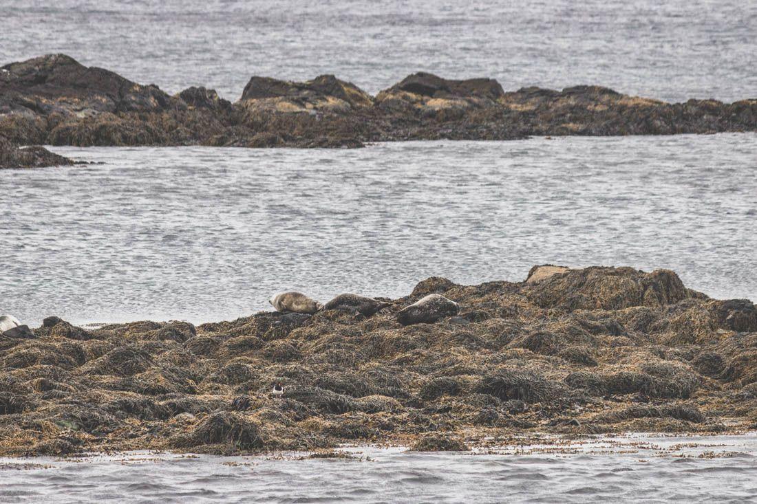 Illugastaðir / Illugastadir / Phoques / Seals